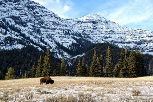 Insider Tips For Visiting Yellowstone National Park, Norther Range, Wyoming