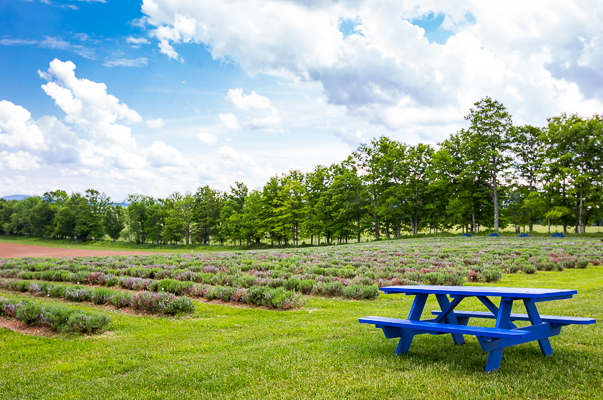 Where To Stay And Play In The Eastern Townships, lavender field Quebec